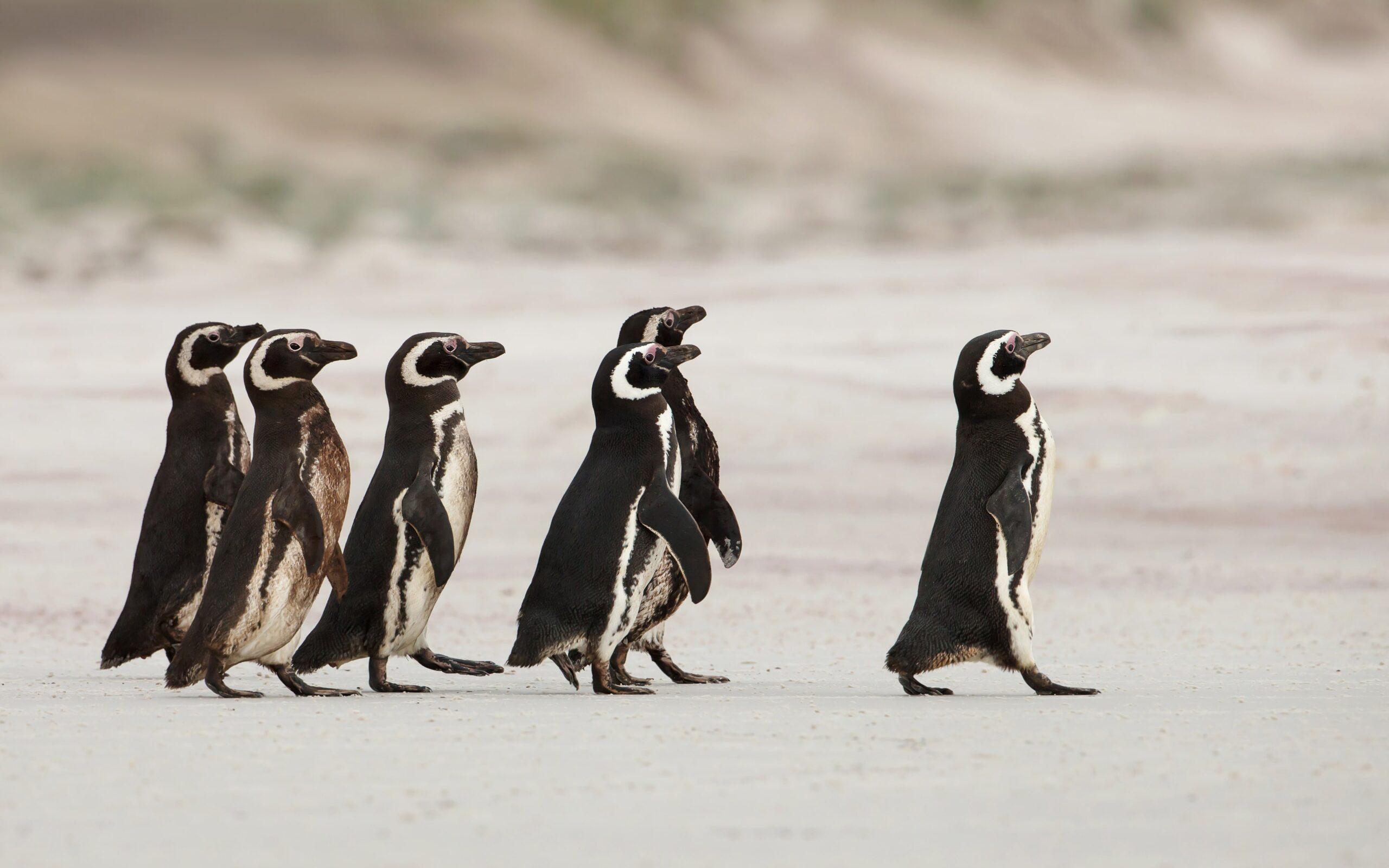 penguins following leader penguin
